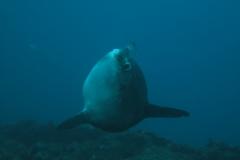 Juillet 2012 - Nettoyage Mola Mola auteur Guillaume Hannachi